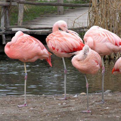 Flamingos snoozing and balancing on one leg at the Prague Zoo