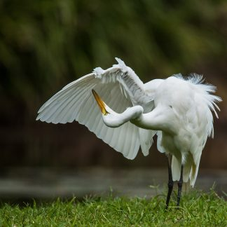 A Great Egret preens its feathers at Freshwater Lake in Cairns Australia courtesy David Clode at Unsplash