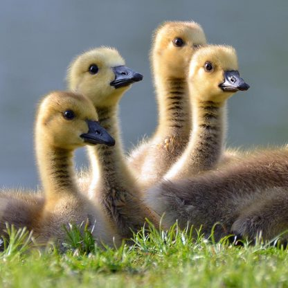 yoga for chicks feature photo of four duckling chicks by Jan Meeus at Unsplash